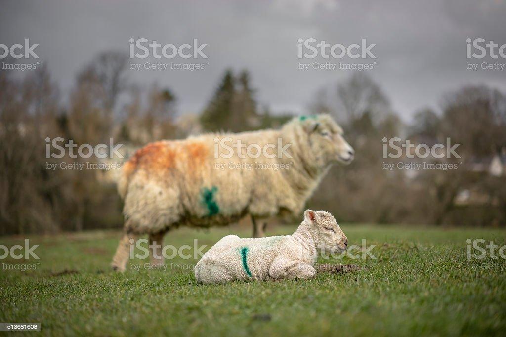 New Born Lamb  Spring. stock photo