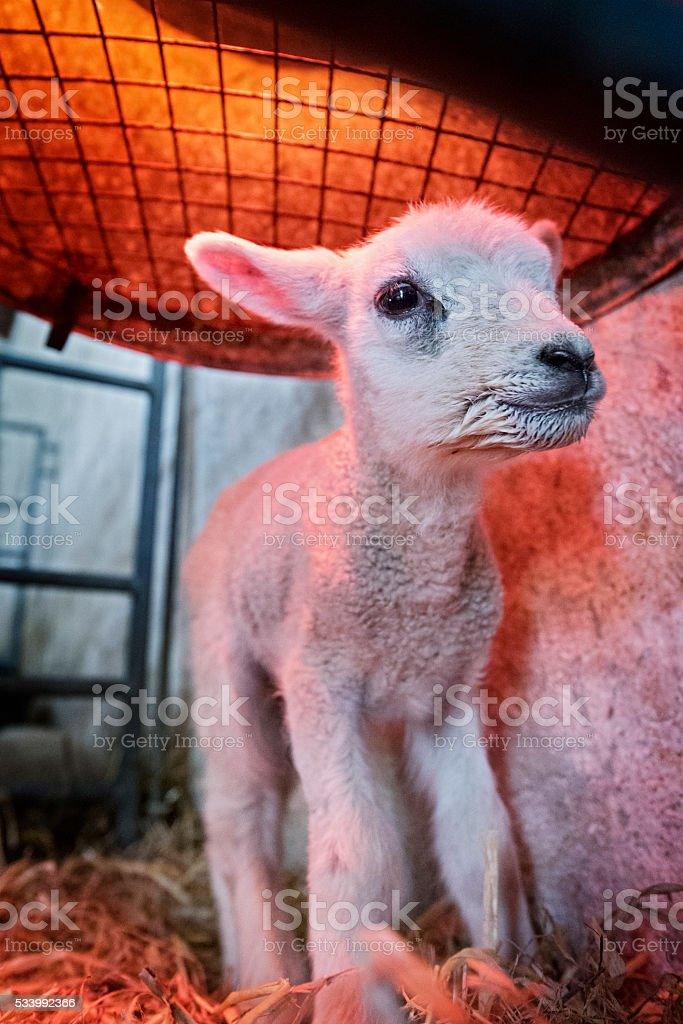New Born Lamb Standing Under a Heat Lamp stock photo