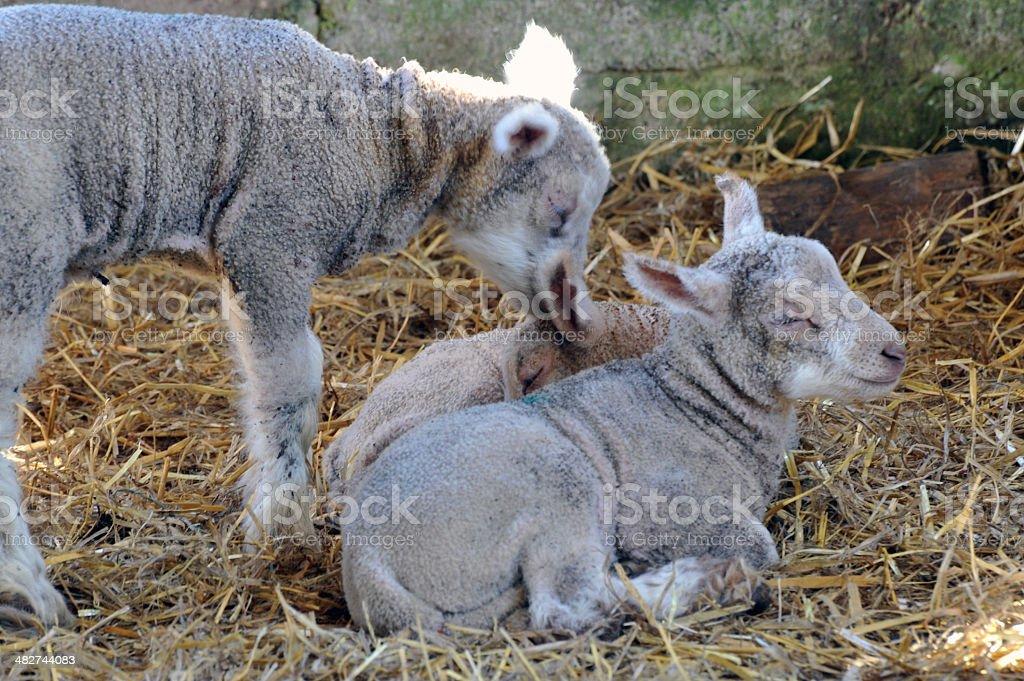 New Born Lambs royalty-free stock photo