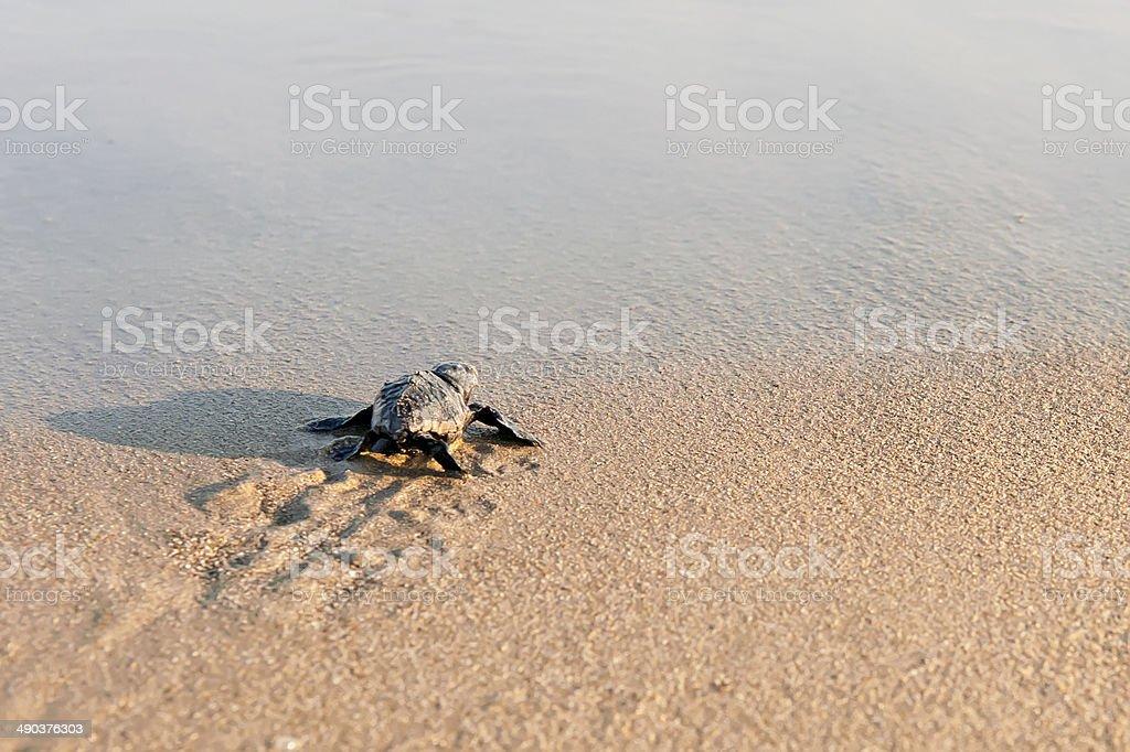 New born sea turtle Walking to the sea stock photo