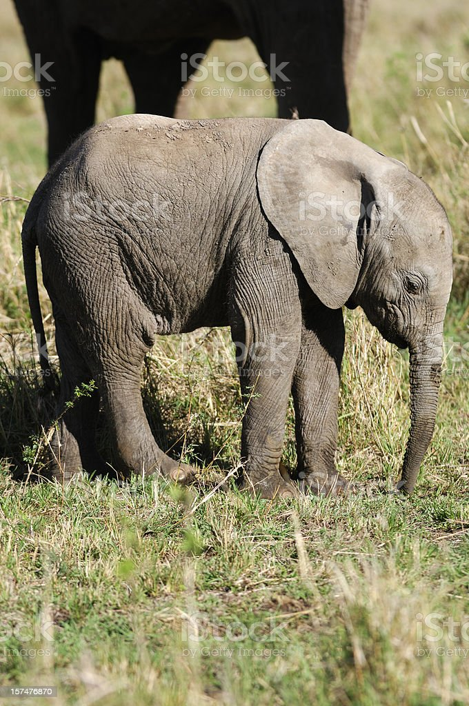 New Born Wild African Elephant in Front of Mother royalty-free stock photo