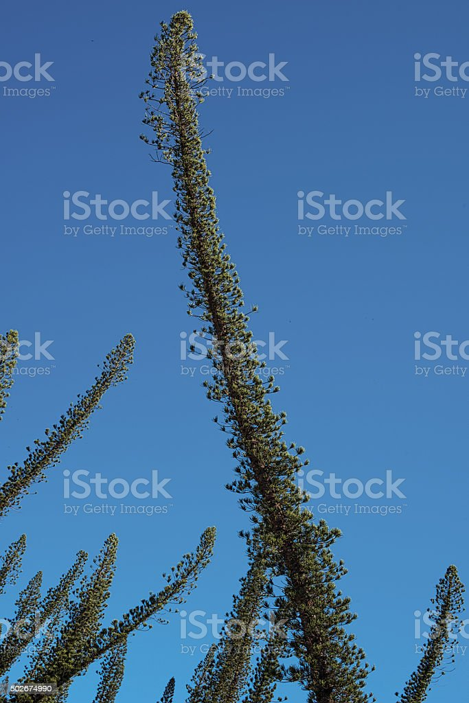 New Caledonia and its pine trees stock photo