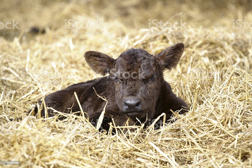 New Calf royalty-free stock photo