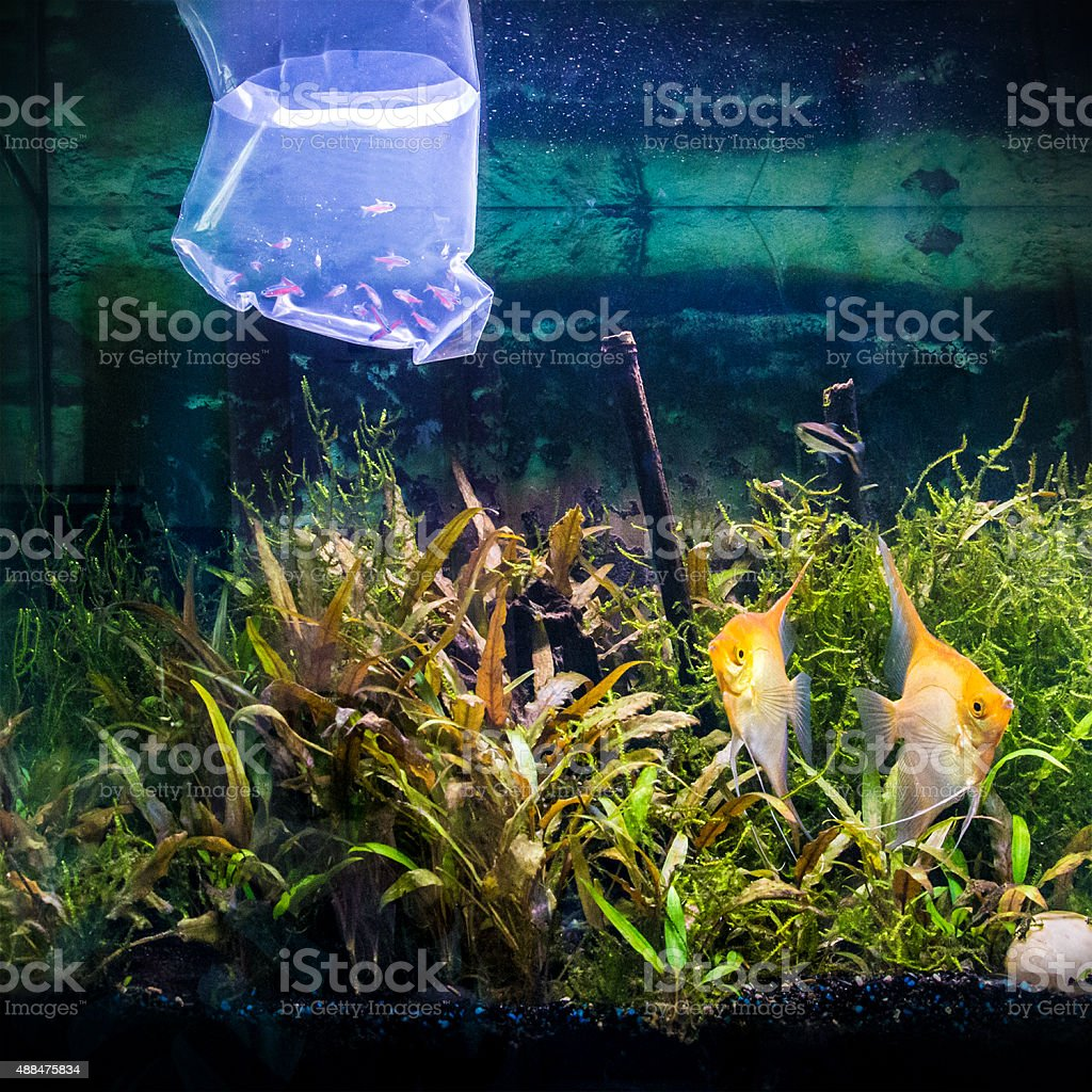 New Cardinalis neon fish Paracheirodon Axelrodi plastic bag being acclimatized stock photo
