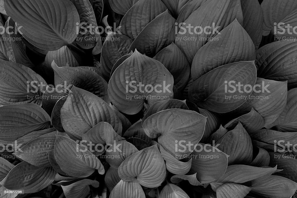 New, colorful Hosta Plant leaves close-up stock photo
