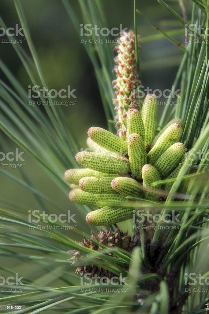 New Crop of Pine Cones stock photo