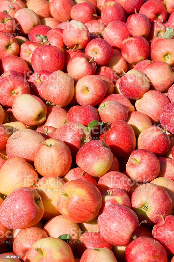 New crop of red Gala apples stock photo