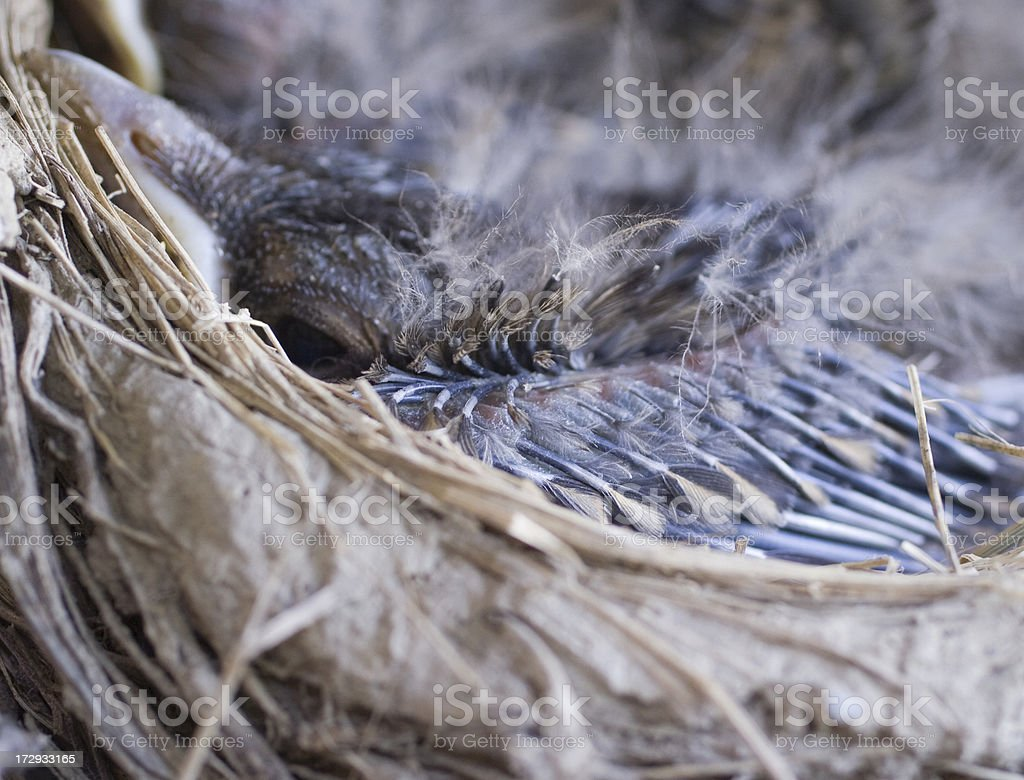 New Feathers on a Baby Bird royalty-free stock photo