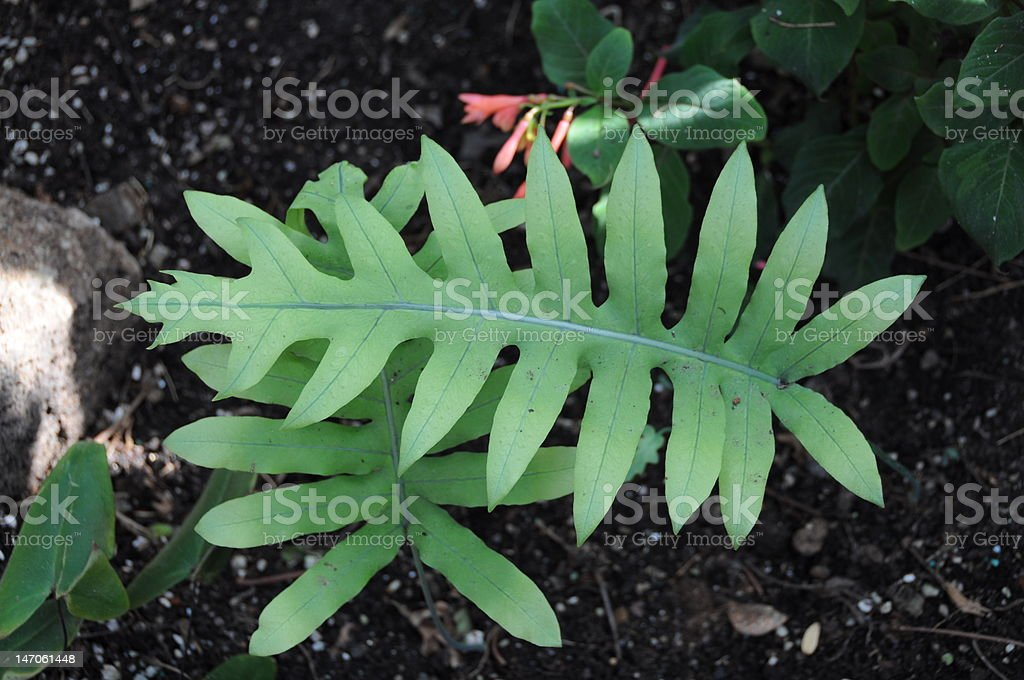 New fern leaf in the forest royalty-free stock photo
