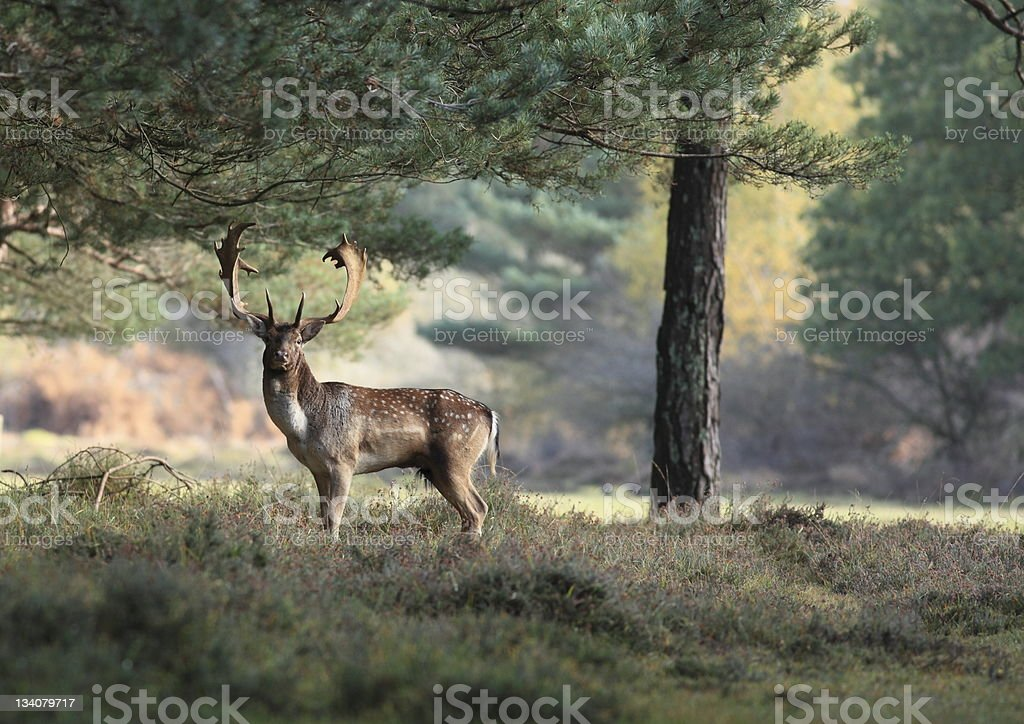 New Forest Fallow Stag stock photo