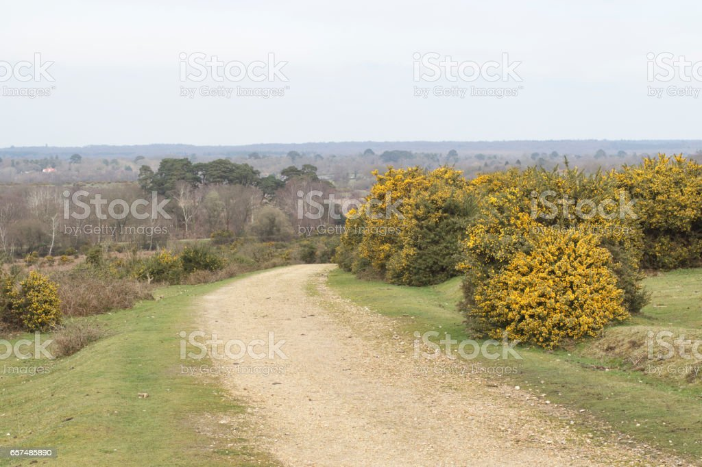 New Forest landscape in Dorset England with yellow gorse flowers stock photo