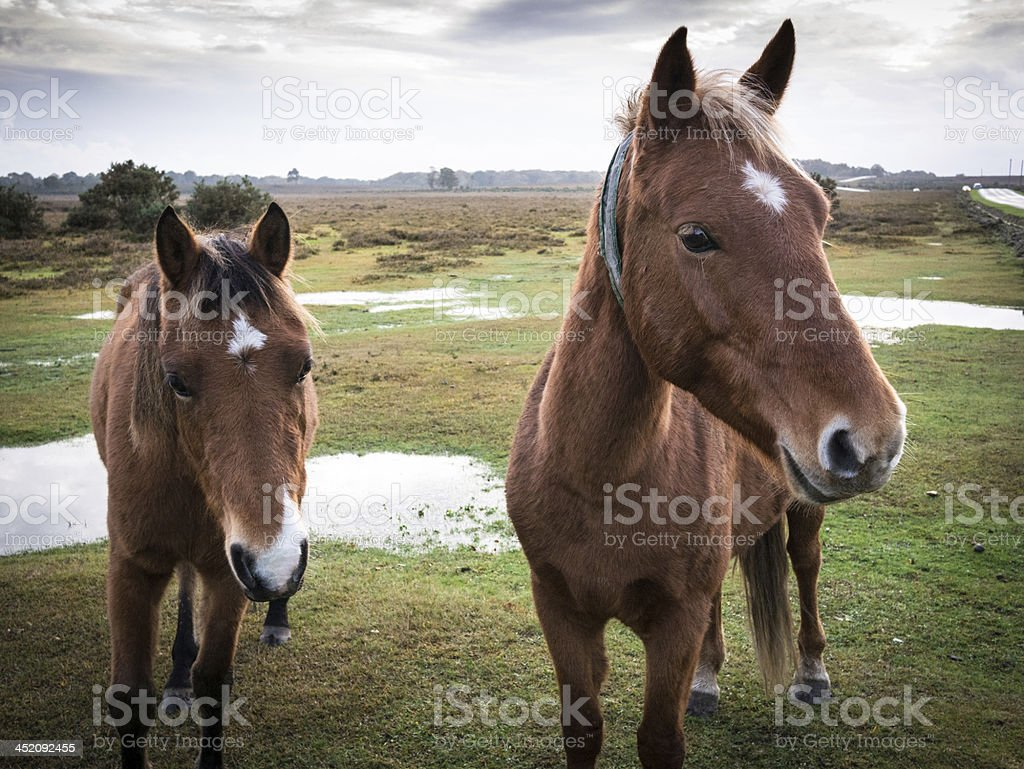 New Forest Ponies by the road stock photo