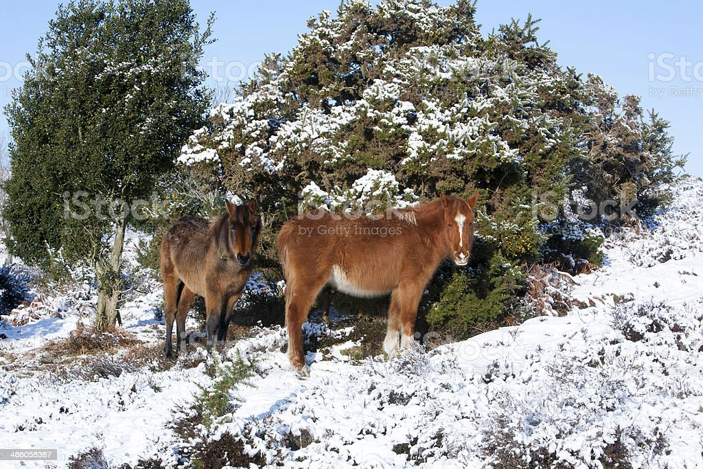New Forest Ponies In The Snow stock photo