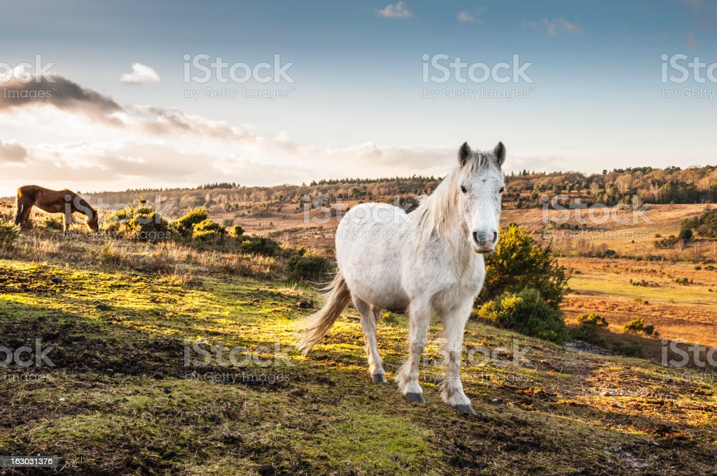 New Forest Ponies roaming wild stock photo