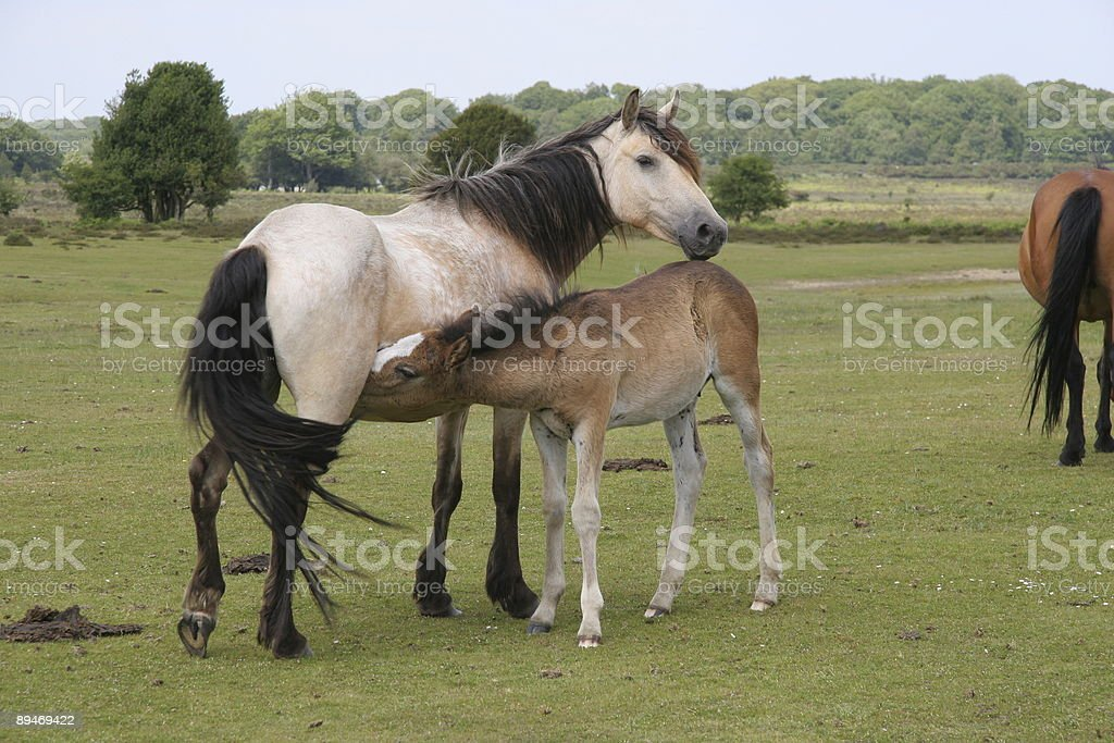 New Forest Pony and Foal stock photo
