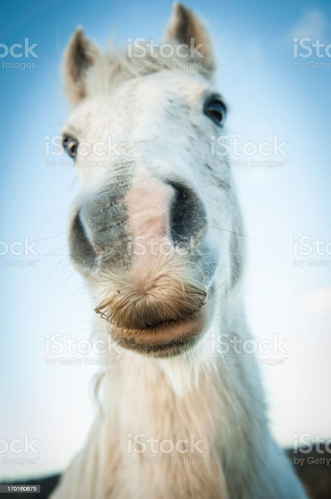 New Forest Pony close up royalty-free stock photo