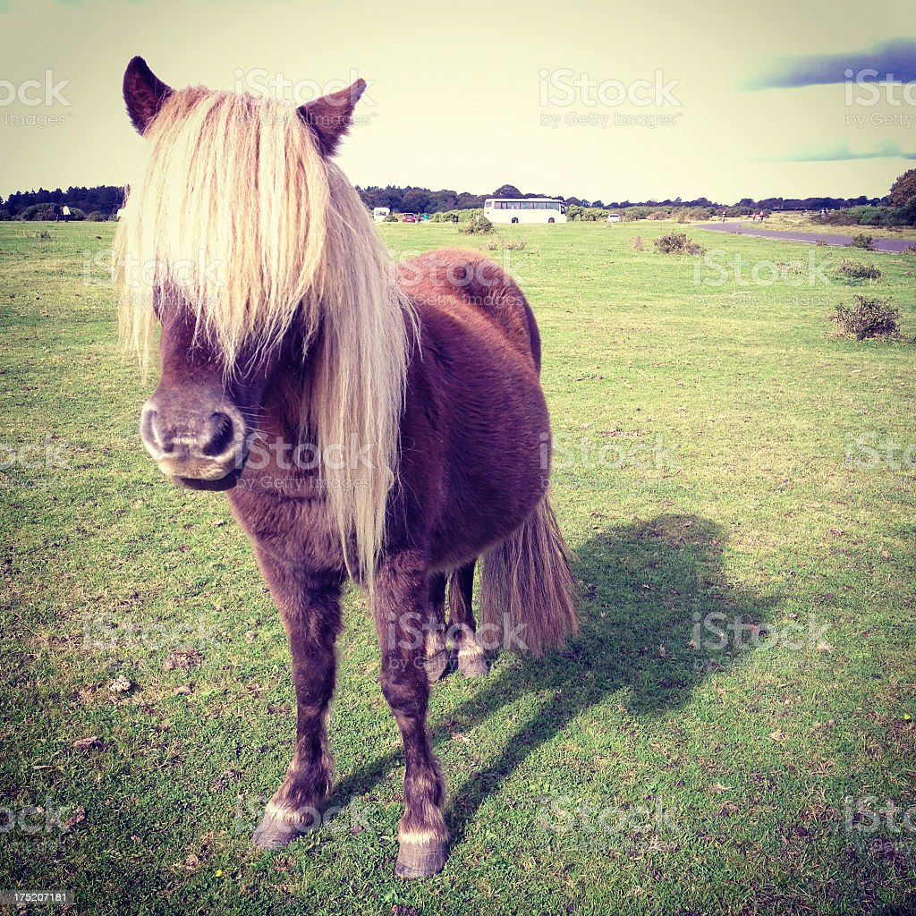 New Forest Pony with fringe royalty-free stock photo
