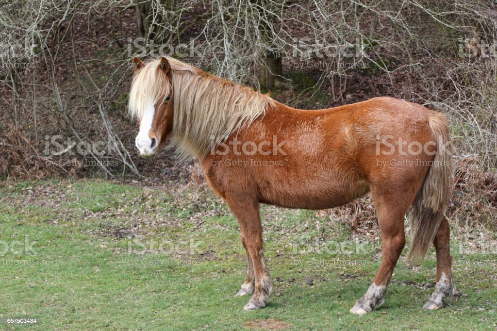New Forest pony with palomino colouring head up stock photo