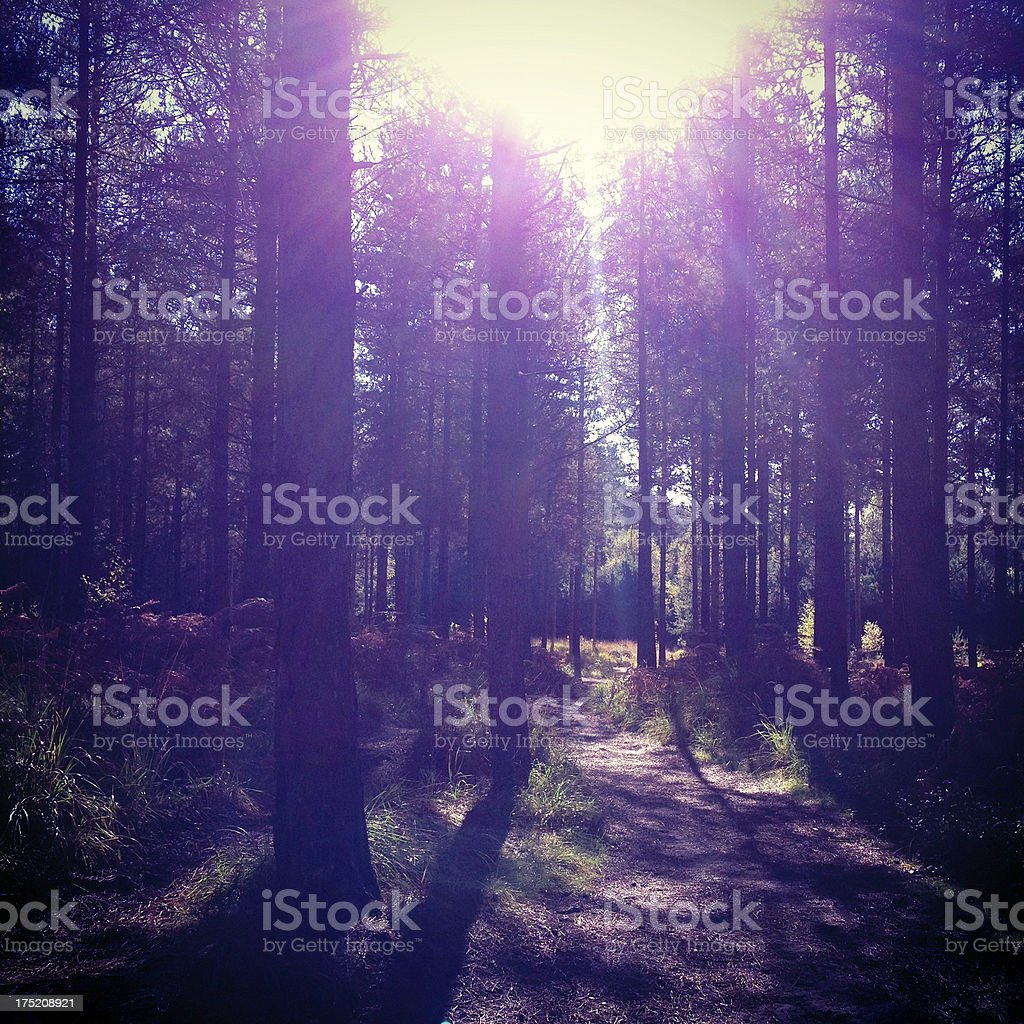 New Forest trees in sunlight royalty-free stock photo