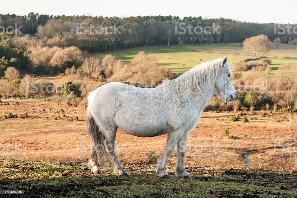 New Forest wild mare stock photo