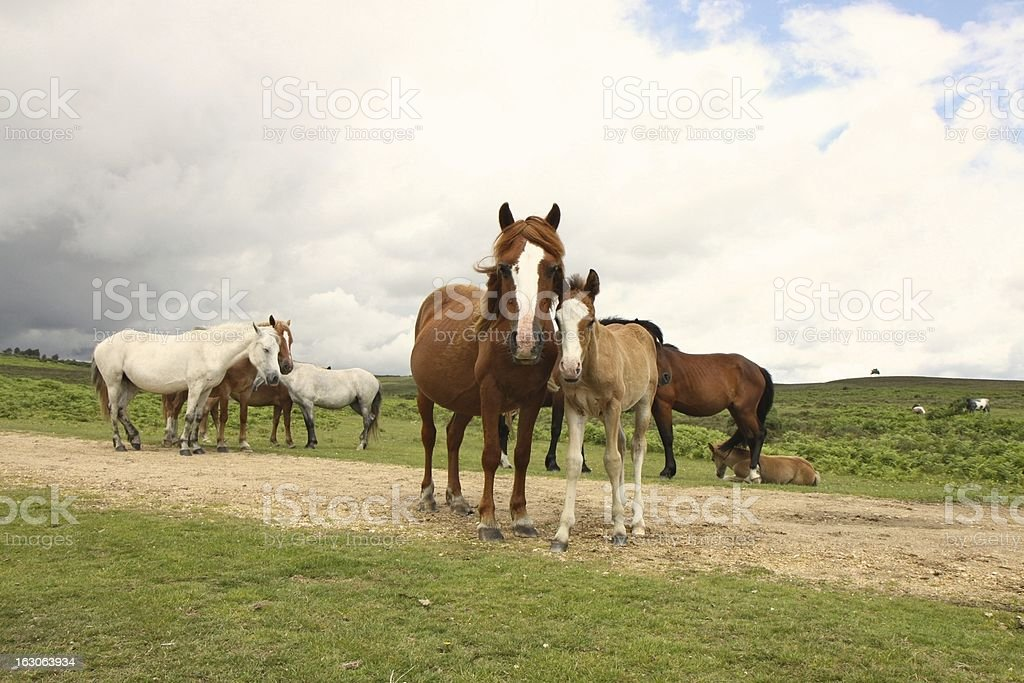 new forest wild mare standing with foal royalty-free stock photo