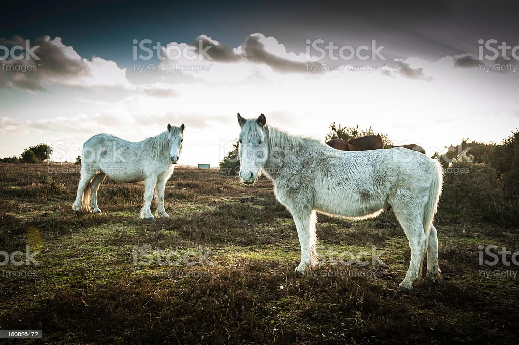 New Forest wild Ponies royalty-free stock photo