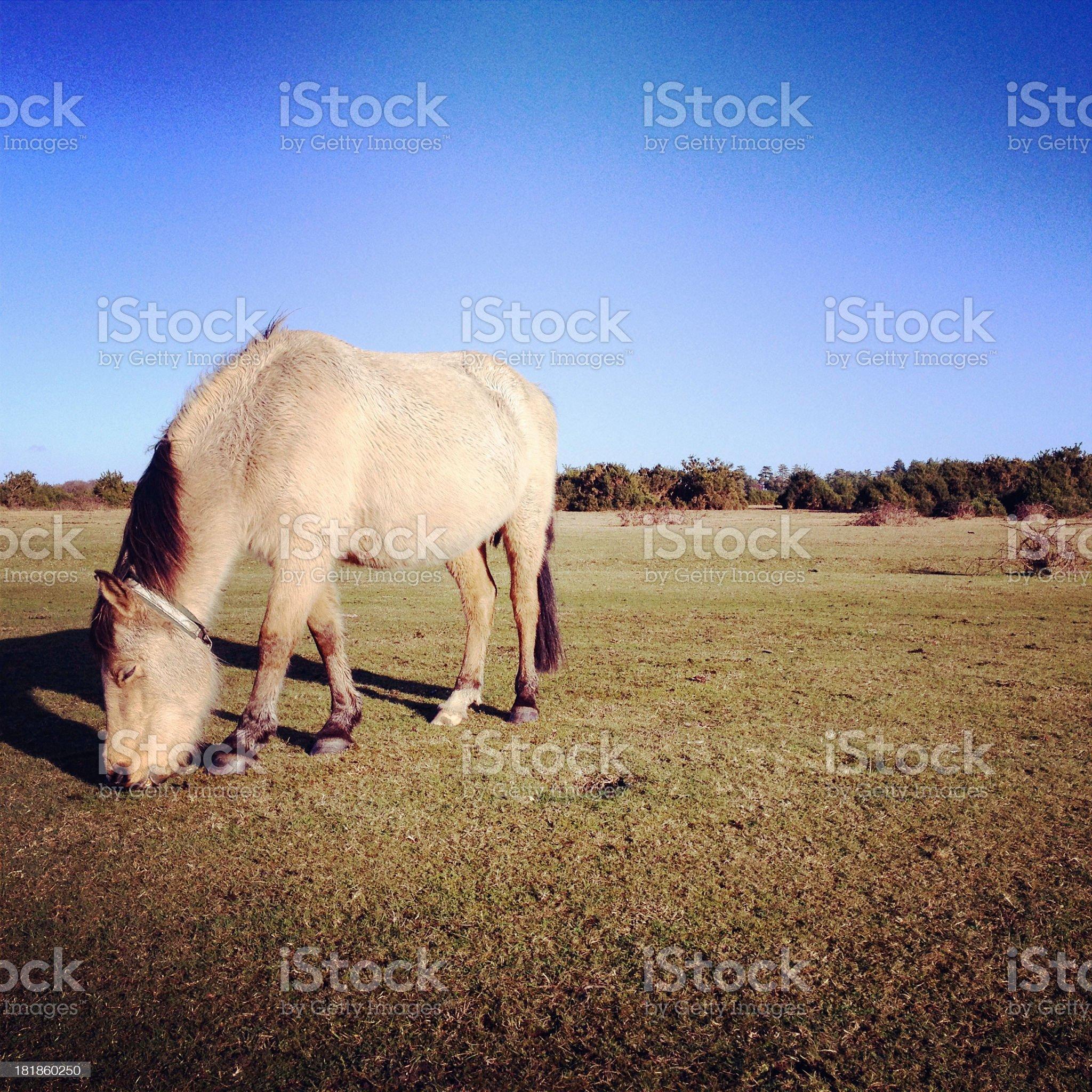 New Forest wild Pony royalty-free stock photo