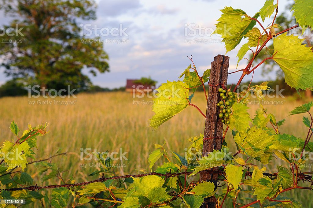 New Grapes royalty-free stock photo