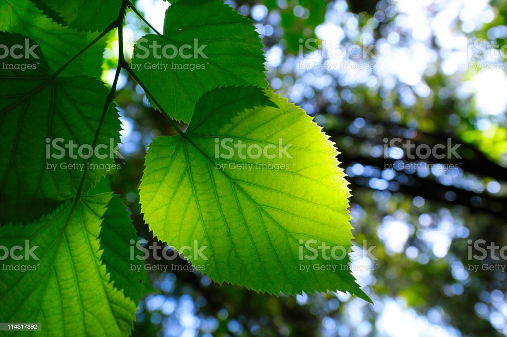 New Green Beech Leaves royalty-free stock photo
