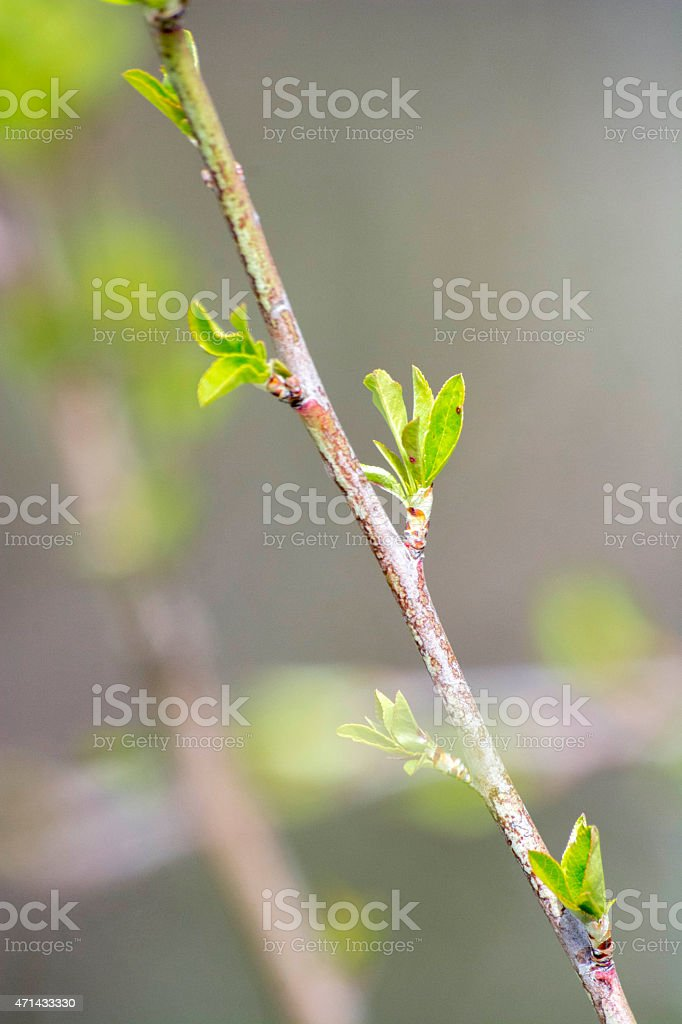 New green buds on spring time stock photo
