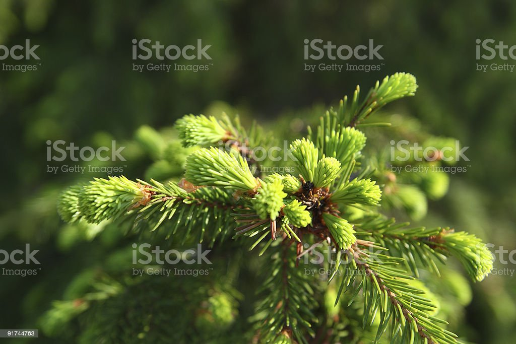 new green fir branch royalty-free stock photo