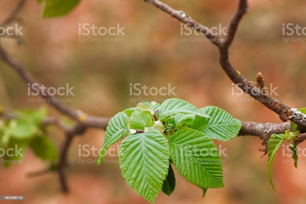 New Green Growth of Leaves in Spring royalty-free stock photo