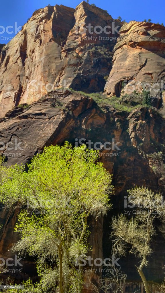 New green leaves of cottonwood tree backlit against rocky sandstone cliffs of Zion National Park Utah stock photo