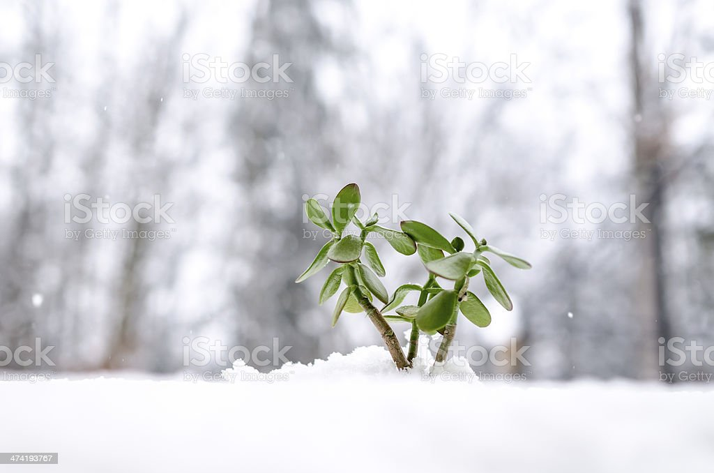 New green plant growing out of snow stock photo