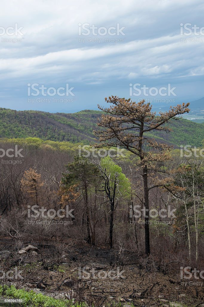 New growth after a mountain fire. stock photo