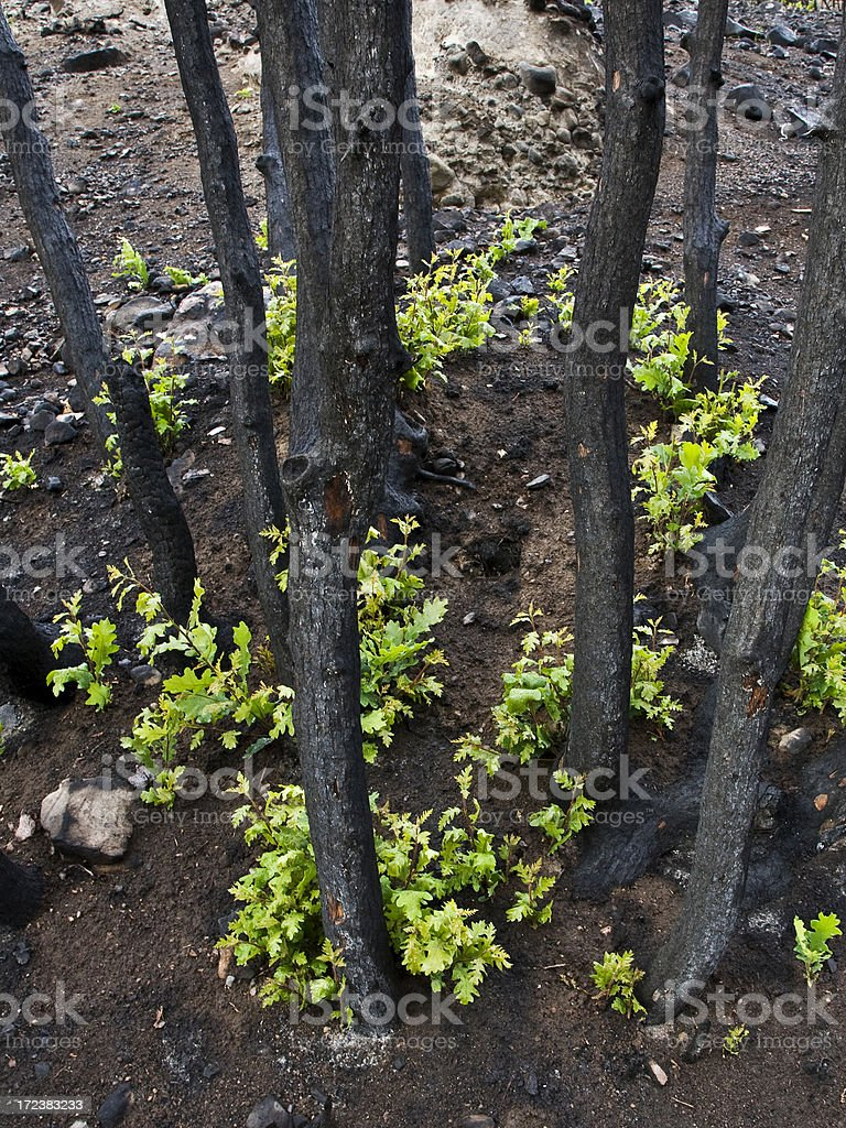 New Growth After Fire. stock photo