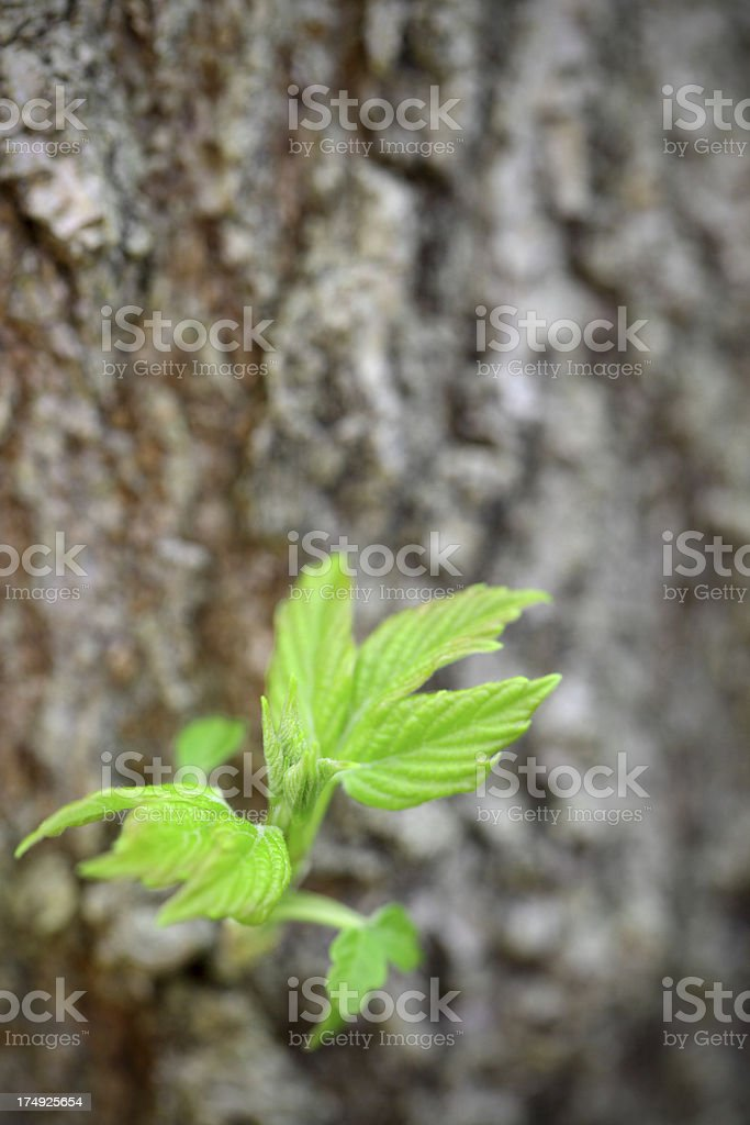 New growth of leaves on tree trunk royalty-free stock photo