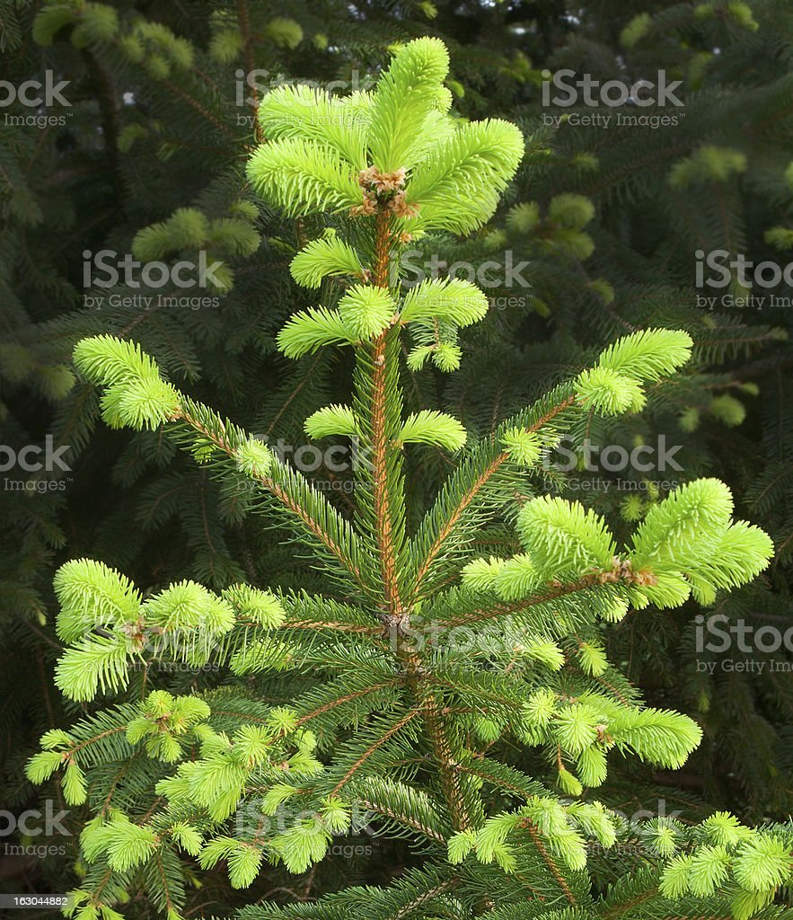 New Growth on Fir Tree royalty-free stock photo