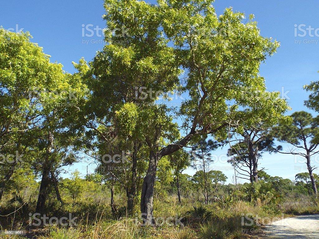 New growth on Turkey Oak trees stock photo