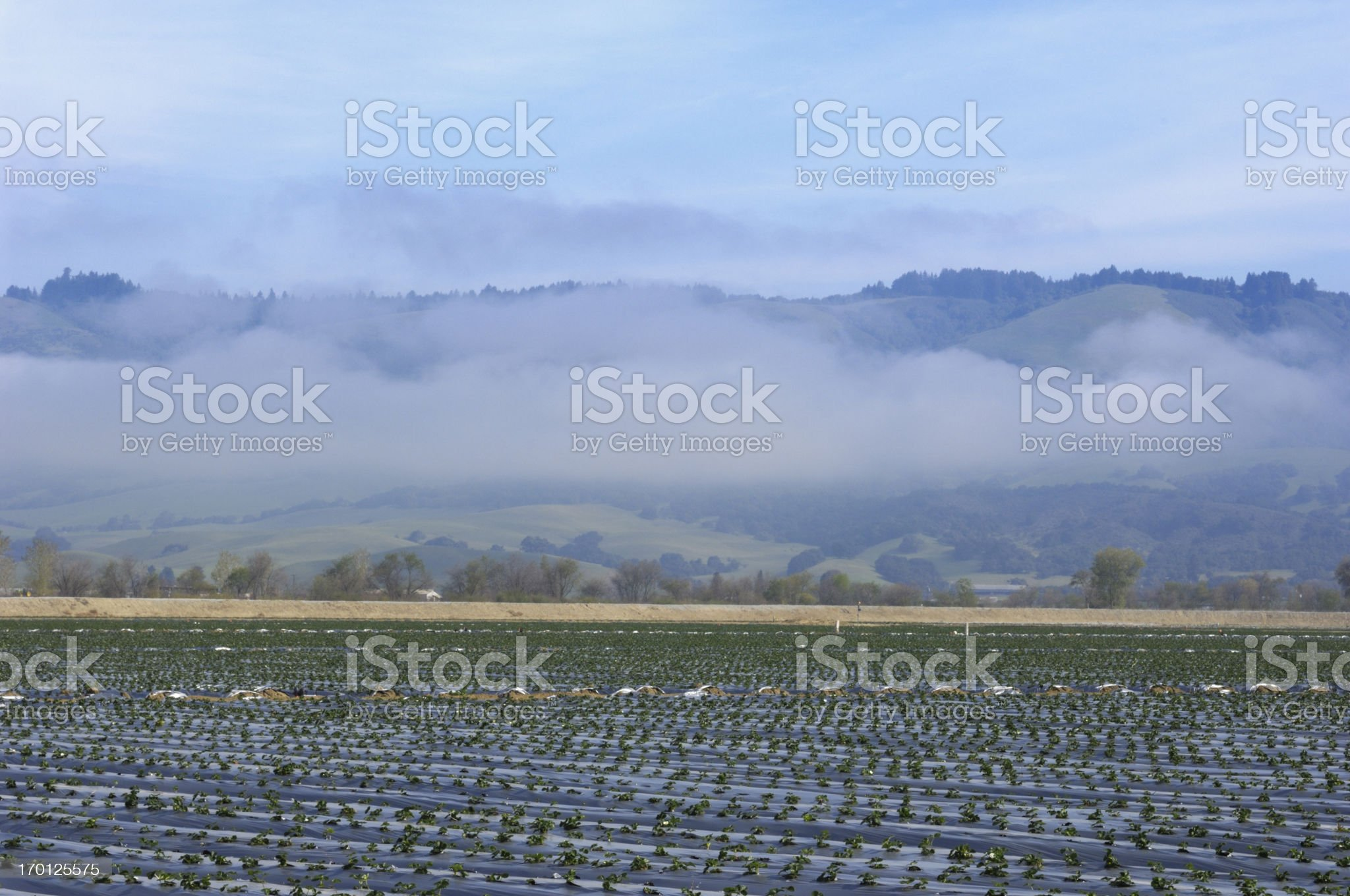 New Growth Strawberry Field royalty-free stock photo