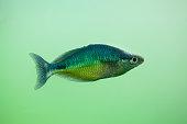 New Guinea rainbowfish (Melanotaenia affinis)