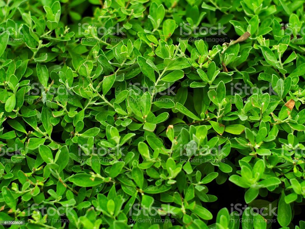 New Guinea rosewood, Philippine mahogany or Pterocarpus indicus stock photo