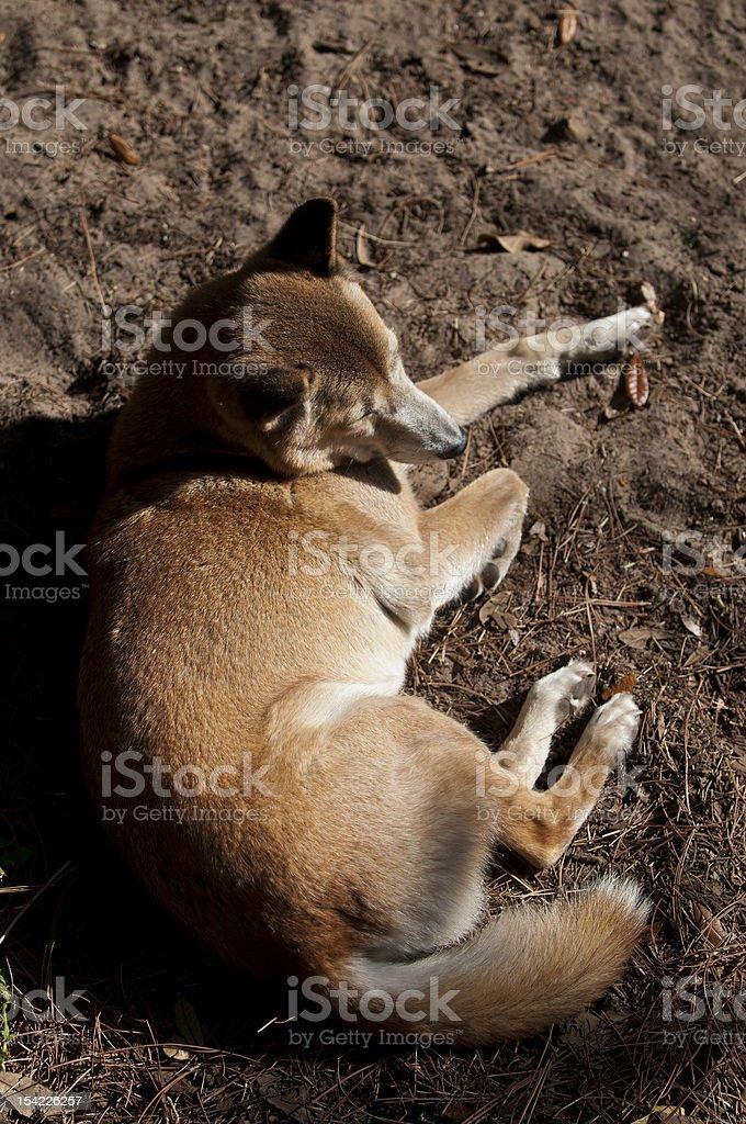 New Guinea Singing dog stock photo