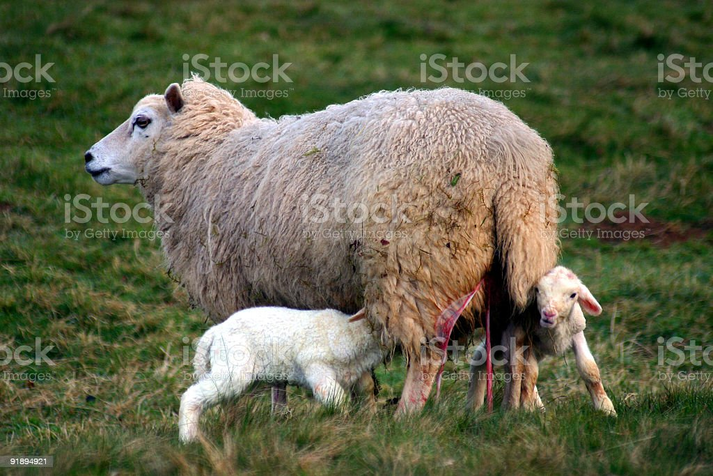 New lambs, mother with after birth stock photo