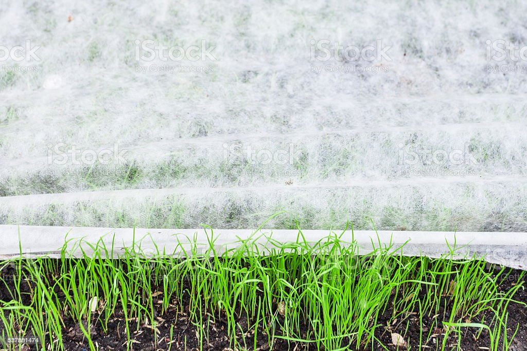 new lawn with green grass under nonwoven fabric stock photo