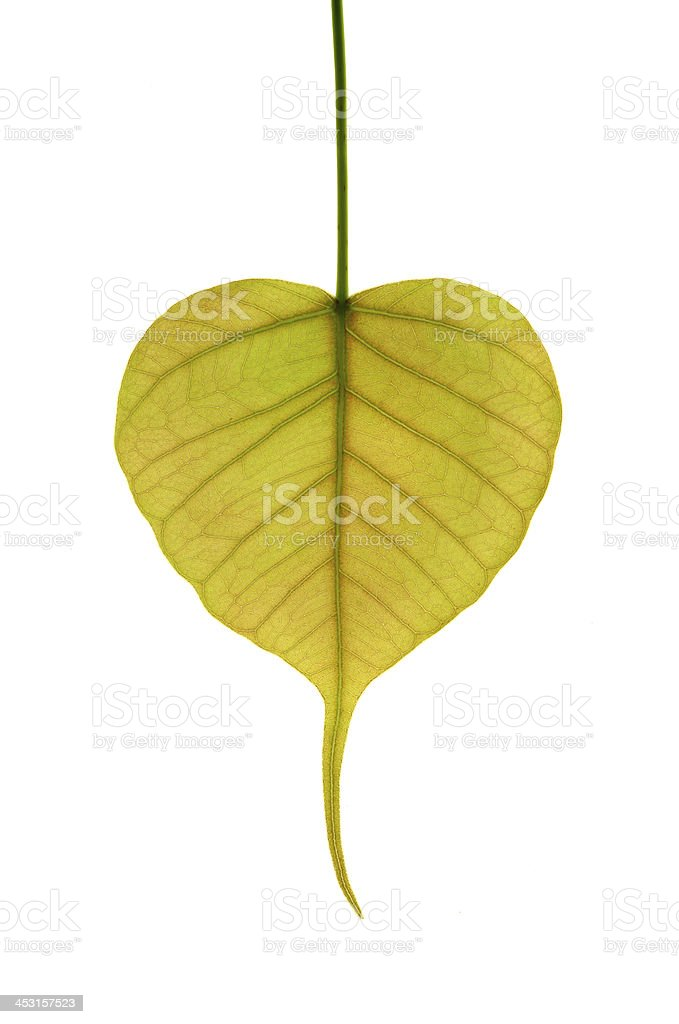 new leaf of peepal tree  in white background royalty-free stock photo