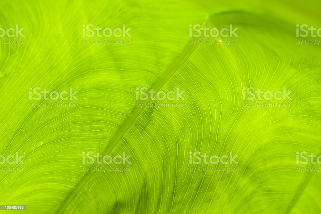 new leaf of taro stock photo