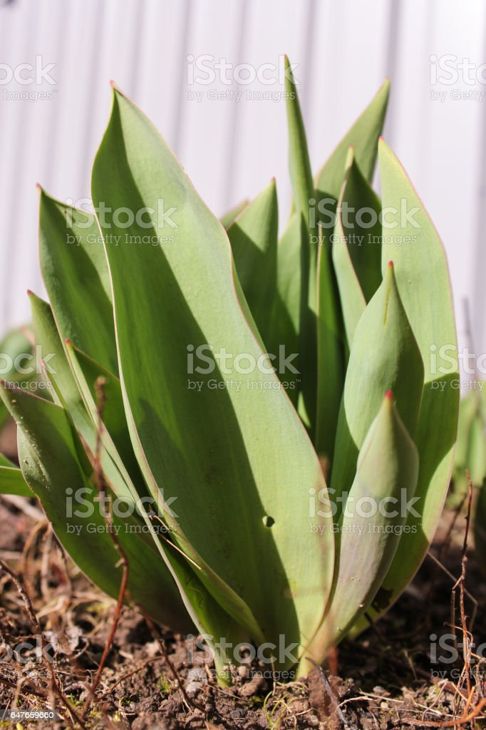 New leaves of a tulip. stock photo