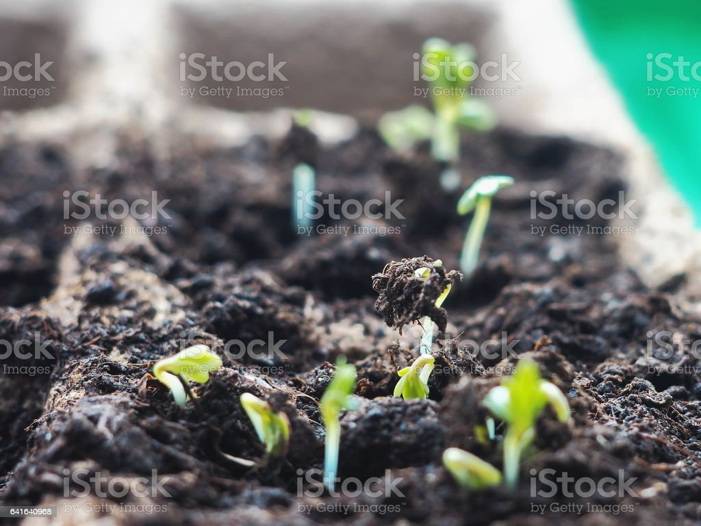 New life beginning concept. Sprouting seed from soil closeup. stock photo