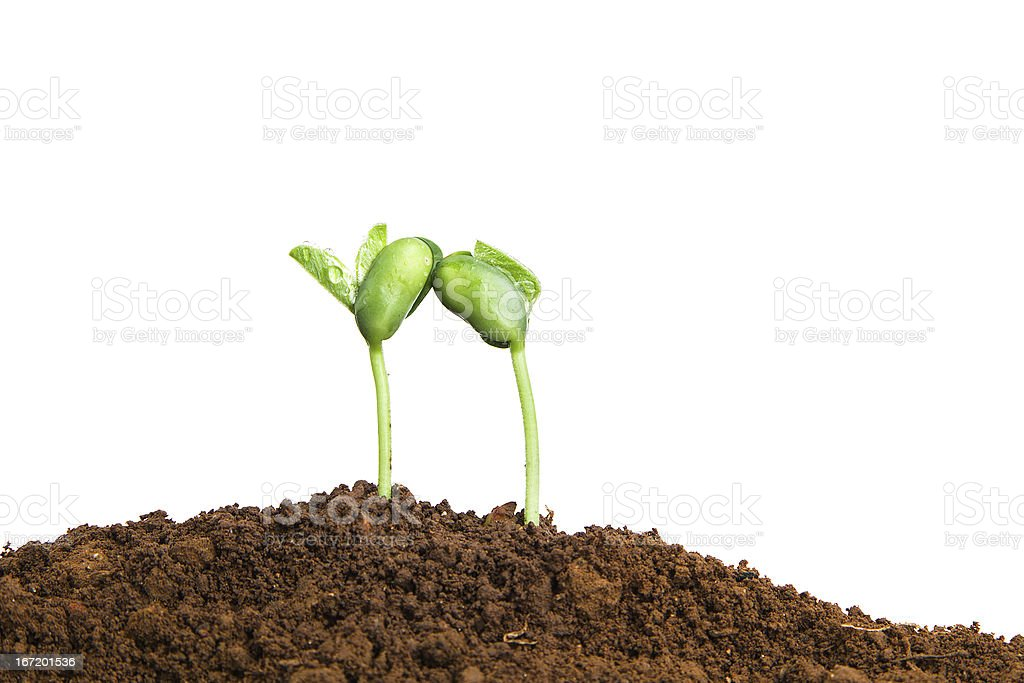 new life growing in spring:two plant love royalty-free stock photo